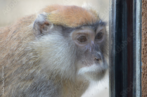 Photo  Patas monkey looking through the window