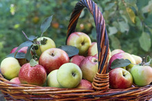 Harvesting,  Apples In A Wicker Basket With An Apple Tree In The Background.