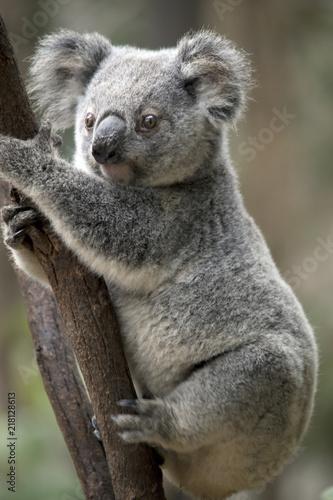 Keuken foto achterwand Koala joey koala