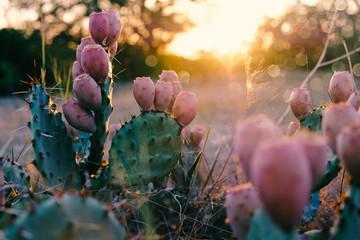 Kaktus u cvatu tijekom zalaska sunca u ljetnom zalasku Teksasa.
