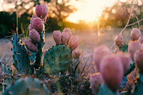 Cactus in bloom during Texas rural summer sunset. Fototapeta
