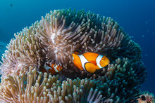 A Family Of Cute Clownfish In ...