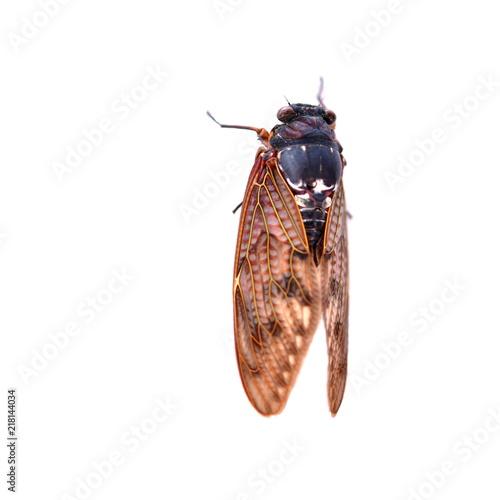 Fotografie, Obraz  昆虫イメージ素材、アブラゼミ、白バック