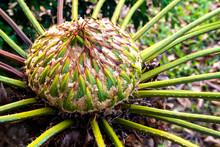 Female Cone Of Cycas Siamensis Miq Plant