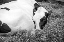 Sleeping  Cow Black And White