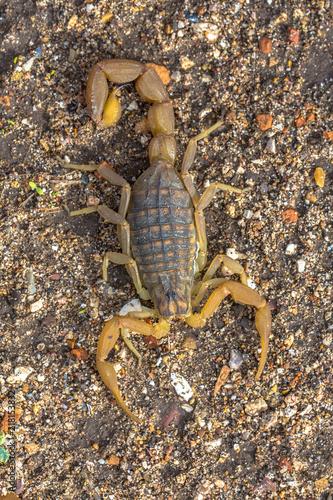 Common Yellow Scorpion above