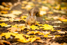 Cute And Hungry Squirrel Eating A Chestnut In Autumn Scene. Autumn Portrait Of Squirrel, Yellow Park With Fallen Leaves, Concept Autumn Nature Preparation For Winter, Redhead Little Beast In The