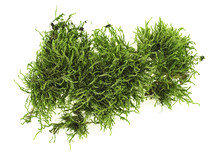 Green Moss On White Background...