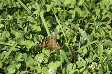 American Lady Butterfly (Vanessa Virginiensis) In Iowa Feasting On Clovers With Proboscis