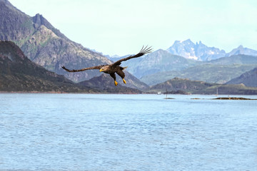 White-tailed sea eagle hunting in a Norwegian fjord.