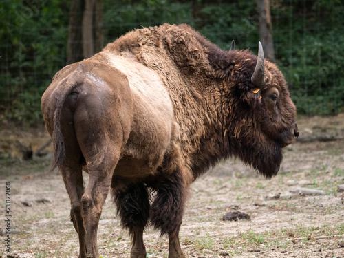 Keuken foto achterwand Buffel Bison