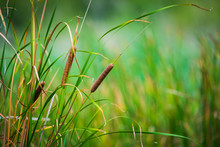 Bulrushes, Or Cattails, On A S...