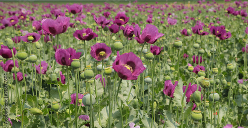 Field of opium poppy, Papaver somniferum