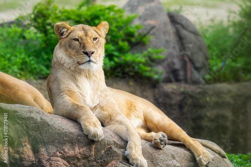 遠くを見つめる雌ライオン