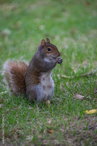 Spoed Foto op Canvas Eekhoorn A squirrel standing on the grass and eating