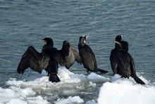 Four Great Cormorants On Chunks Of Ice