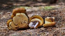 Tapinella Atrotomentosa Mushroom
