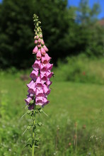Fingerhut Im Garten