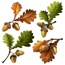 Vector Illustration - Oak Branch With Acorns And Leaves Isolated On White Background. EPS 10