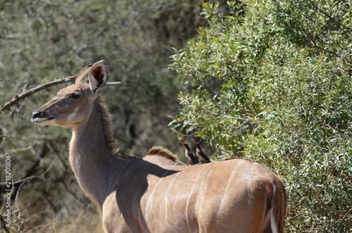 Fotografie, Obraz  Fauna al parco Kruger, uccellini di passaggio su cervo africano