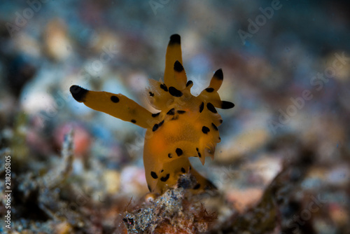 фотография Pikachu Nudibranch - Thecacera pacifica