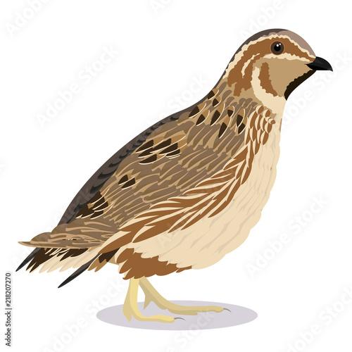 Fototapeta common quail bird