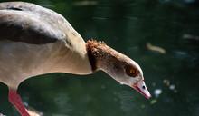 Egyptian Goose Portrait