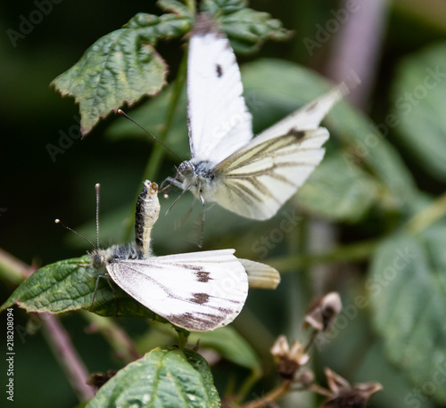 Large White Butterflies mating Canvas Print