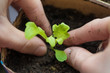 Two hands of woman carefully planting seedlings of salad in fertile soil in bigger pot. Taking care and growth concept