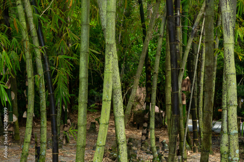 Foto op Plexiglas Bamboe Forest of bamboo, green and black stalks - Delray Beach, Florida, USA