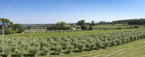 Fototapeta Winegrowingat and olive grove in the Alpilles Region at St Rémy de Provence