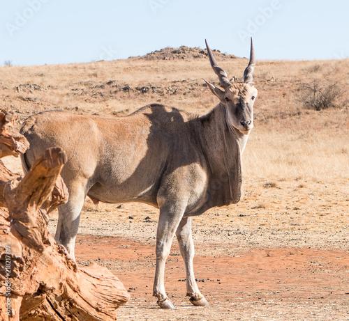 Deurstickers Ezel Antelope
