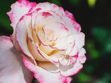 Beautiful Rose In The Flower Garden. Small Spider Sitting On Petals.