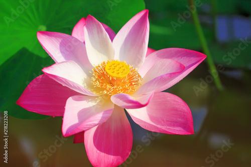 Poster Lotusbloem Beautiful pink lotus flower in blooming