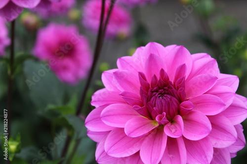 In de dag Dahlia pink dahlia flower vicus beda