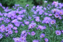 Purple Asters - Astereae