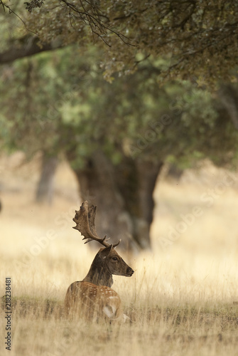 Photo  Fallow Deers, Dama dama, Spain