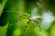 Big Spider. Common Black And Y...