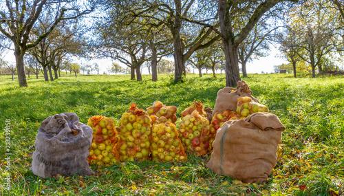 Erfolgreiche Apfelernte