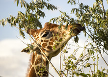 Giraffe Eating Leaves From A T...