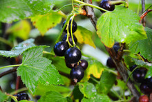 Currant, Blackcurrant, Berry, Currant, Fruit, Black, Food, Leaf, Branch, Bush, Ripe, Plant, Nature, Berries, Green, Garden, Blackcurrant, Fresh, Healthy, Summer, Sweet, Leaves, Red, Macro, Bunch