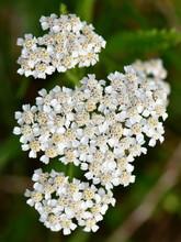 Achillea Millefolium, Commonly...