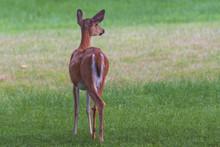 Whitetail Doe Deer