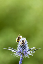 Bees Pollinating Sea Holly Flo...