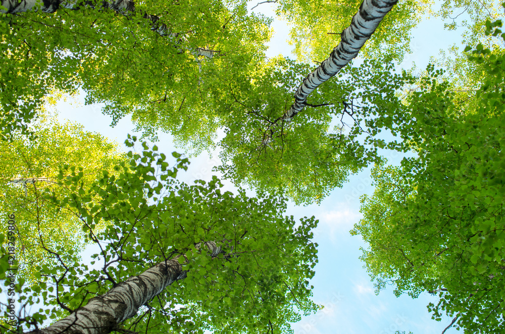 tree trunks of birches in summer, bottom view