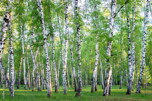 Papiers peints Bosquet de bouleaux birch grove in the forest, green foliage in summer
