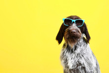 German Pointer Dog With Sunglasses On Yellow Background