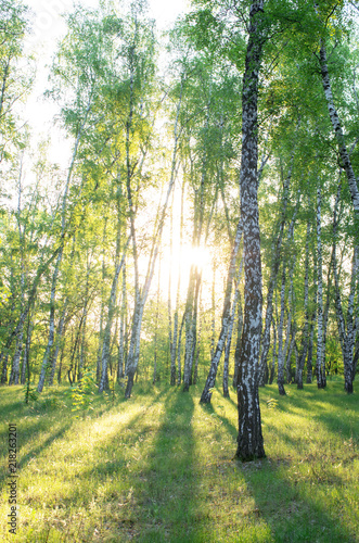 Birch grove, sunlight through the trees, shadows from the trunks
