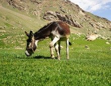 Brown Donkey Grazing In The Mountain Valley, Fann Mountains Tajikistan