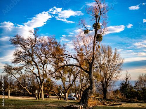 Fotografie, Obraz  bare trees with mistletoe in winter